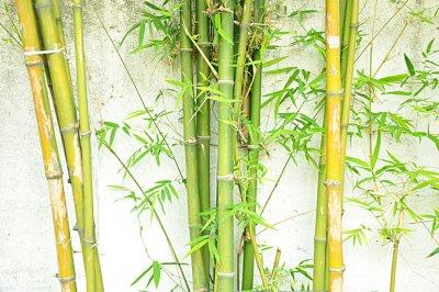 Fototapeta Bambusowe drzewa zielone