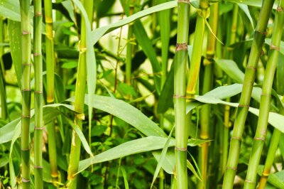 Fototapeta Bambusplantage