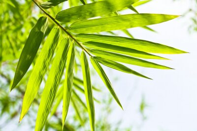 Fototapeta Bammboo liść