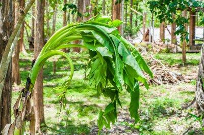 Fototapeta Banana kwiat