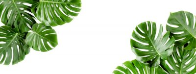 Fototapeta Banner of green tropical palm leaves Monstera on white background. Flat lay, top view.