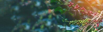 Fototapeta Banner panoramic Ripe Red coffee bean berry plant fresh seed coffee tree growth green eco organic farm. Banner red ripe seed robusta arabica berries harvest coffee garden. Coffee bean tree copy space