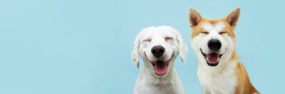 Fototapeta Banner two smiling dogs with happy expression. and closed eyes. Isolated on blue colored background.