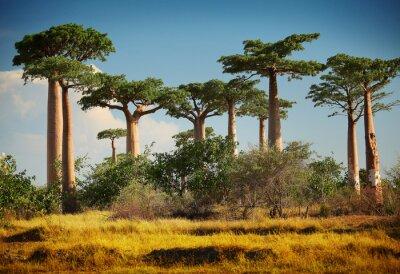 Fototapeta Baobab