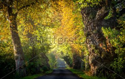 Fototapeta Bardzo stara drzewna aleja w wczesnym poranku. Nastrojowy światło z jesienią liśćmi. Odpoczynek w lesie podczas leśnego z zielonymi płucami, leśnymi spacerami i oddechami.