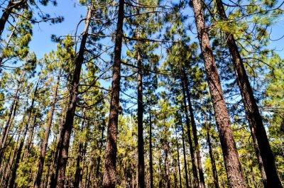 Fototapeta Bardzo wysoki las drewno sosnowe