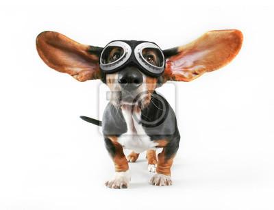 Fototapeta basset hound z uszami odlatuje noszących okulary izolowania