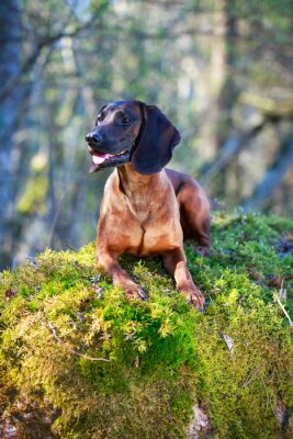 Fototapeta Bavarian Mountain Hound
