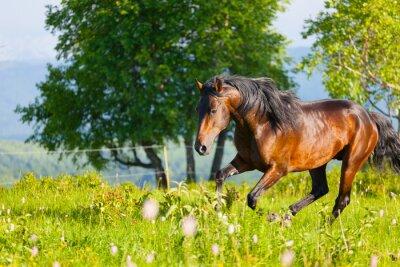 Fototapeta bay konia skoków na zielonej łące w letni dzień