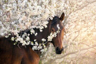 Fototapeta Bay stallion portrait on spring blossom tree