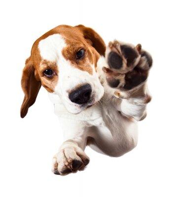 Fototapeta beagle na białym
