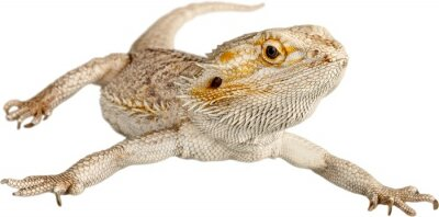 Fototapeta Bearded Dragon, Lizard, Iguana.