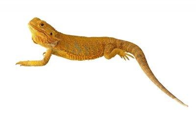 Fototapeta Bearded Dragon lub vitticeps pogona na białym tle
