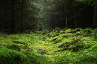 Fototapeta Beautiful and peaceful forest with green moss covering the forest floor