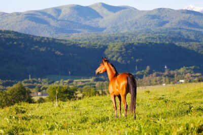 Fototapeta beautiful bay horse lit with the sun to stand a summer meadow against mountains