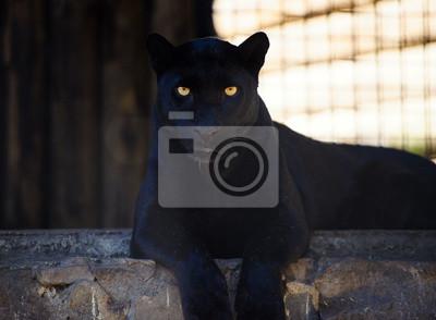 Fototapeta beautiful black panther