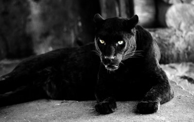 Fototapeta Beautiful black panther. Big cat. Animal world.