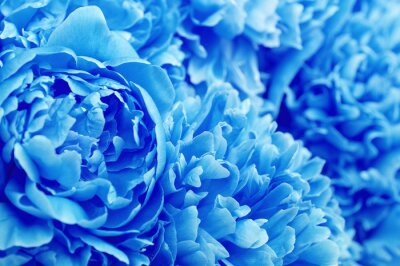 Beautiful blue peony flowers