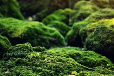 Fototapeta Beautiful Bright Green moss grown up cover the rough stones and on the floor in the forest. Show with macro view. Rocks full of the moss texture in nature for wallpaper.
