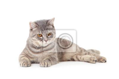 Fototapeta Beautiful cat lying on white background