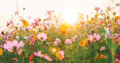 Fototapeta beautiful cosmos flower field