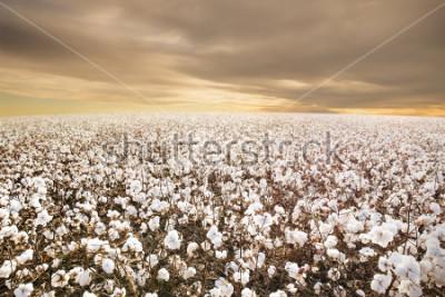 Fototapeta Beautiful Cotton Field in Texas with morning Sunrise