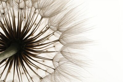 Fototapeta Beautiful fluffy dandelion flower on white background, closeup