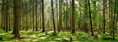 Fototapeta Beautiful forest with moss-covered soil and sunbeams through the trees