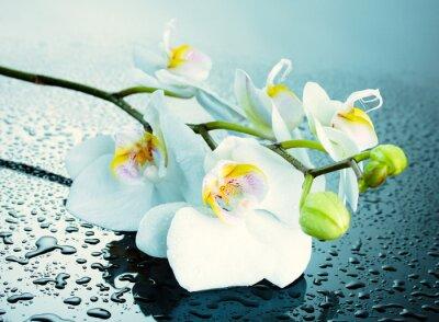 Fototapeta Beautiful orchid with drops, close-up