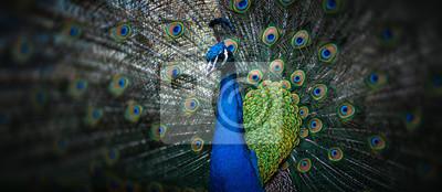 Fototapeta beautiful peacock