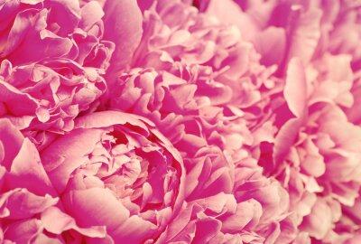 beautiful pink peony flower