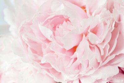 Fototapeta beautiful pink peony flower background