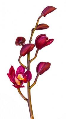 Fototapeta Beautiful purple cymbidium flower orchid close up in garden.