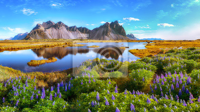 Fototapeta Beautiful sunny day and lupine flowers on Stokksnes cape in Iceland.