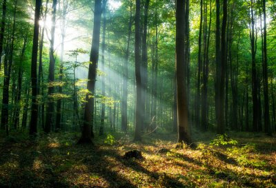 Fototapeta Beautiful sunrise in green forest
