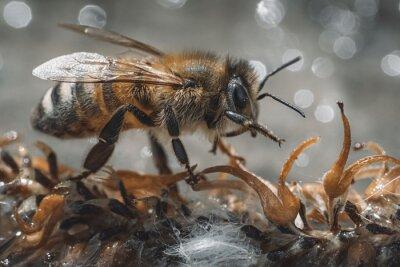 Fototapeta Bee drinking water from wet soil macro shot