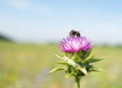Bee poszukiwaniu miodu