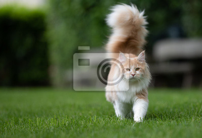 Fototapeta beige white maine coon cat with extremely big fluffy tail walking towards camera on green grass in the  back yard in front of wooden benches in blurry background looking at camera