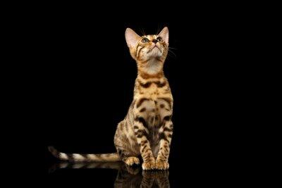 Fototapeta Bengal Kitty siedzi i wyszukiwania na czarny