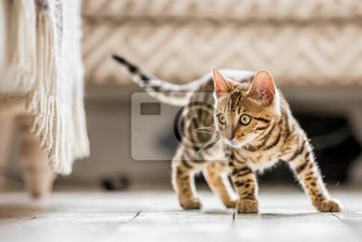 Fototapeta Bengalski kotek stojący w salonie gotowy rzucić się na coś pod ozdobną sofą