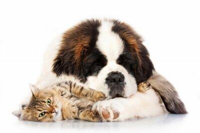 Fototapeta Bernardyn szczeniak pręgowany kot śpi z