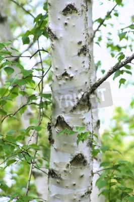 Fototapeta Biała brzoza drzewo w lesie.
