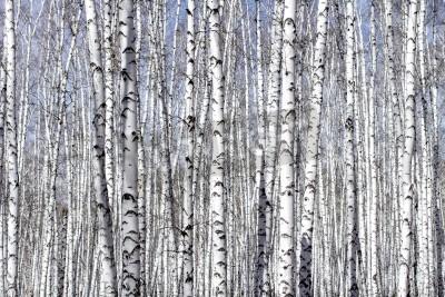 Fototapeta Biała brzoza drzewo w wczesną wiosną