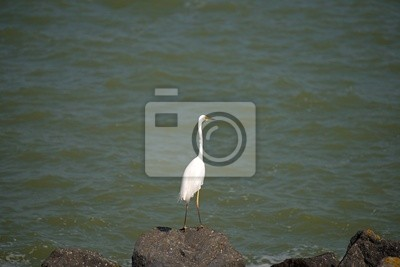 Biała Czapla na kamieniu wzdłuż jeziora