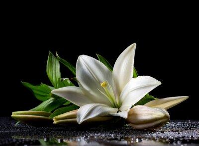 Fototapeta biała lilia świeżość