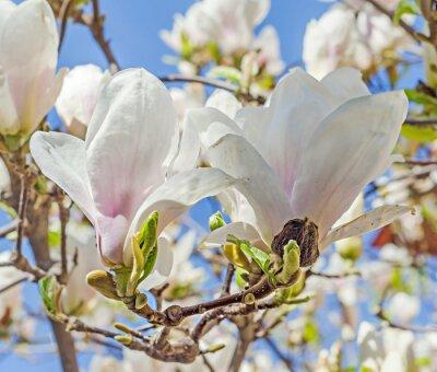 Fototapeta Biała Magnolia kwiaty, kwiaty drzew, niebieskim tle nieba.