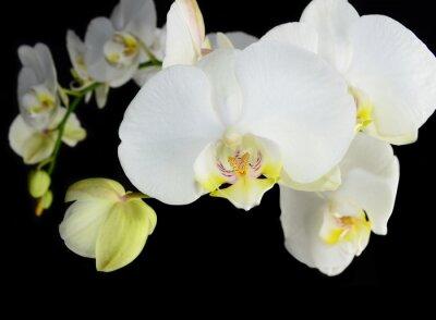 Fototapeta Biała orchidea