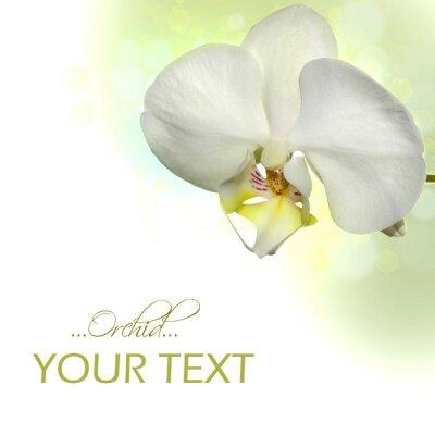Fototapeta Biała orchidea granicznym