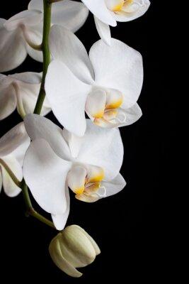 Fototapeta Biała orchidea kwiat na czarnym tle