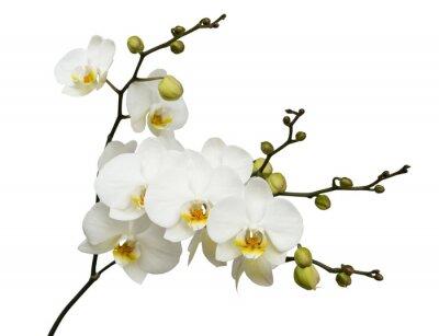 Fototapeta Biała orchidea na białym tle